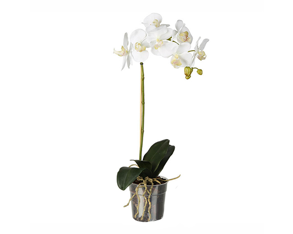 ORCHIDEA PHALAENOPSIS 1 STELO