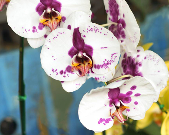 31151352 bella orchidea phalaenopsis 1 1
