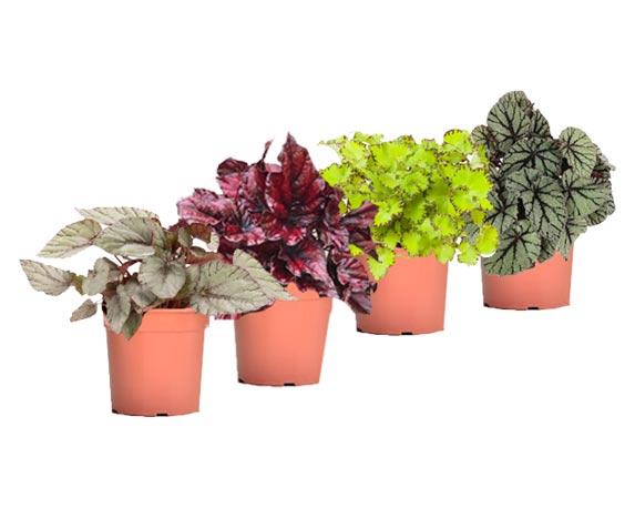 Begonia Magic Colours Mix