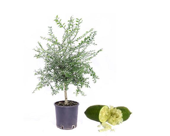 Caviale Limone Fingerlime Verde