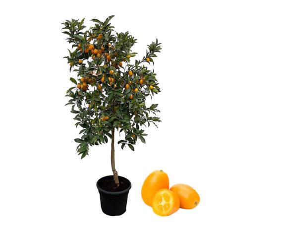 Kumquat Fortunella