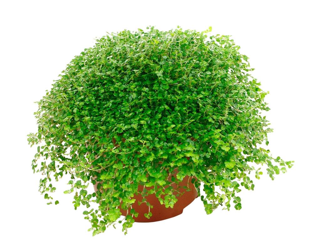 SOLEIROLA Osoleirola piante da interno piante verdi oz planten vaso 11 ricadenti 1