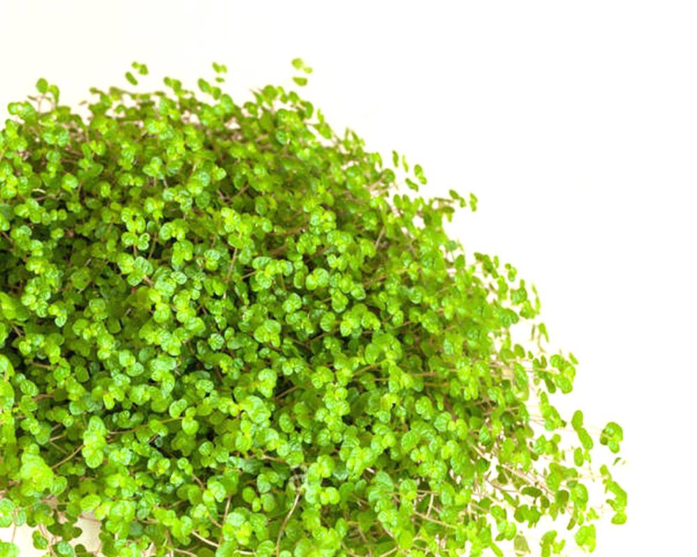 SOLEIROLA Osoleirola piante da interno piante verdi oz planten vaso 11 ricadenti 1I 1