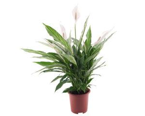 Spathiphyllum Silver Cupido1 1