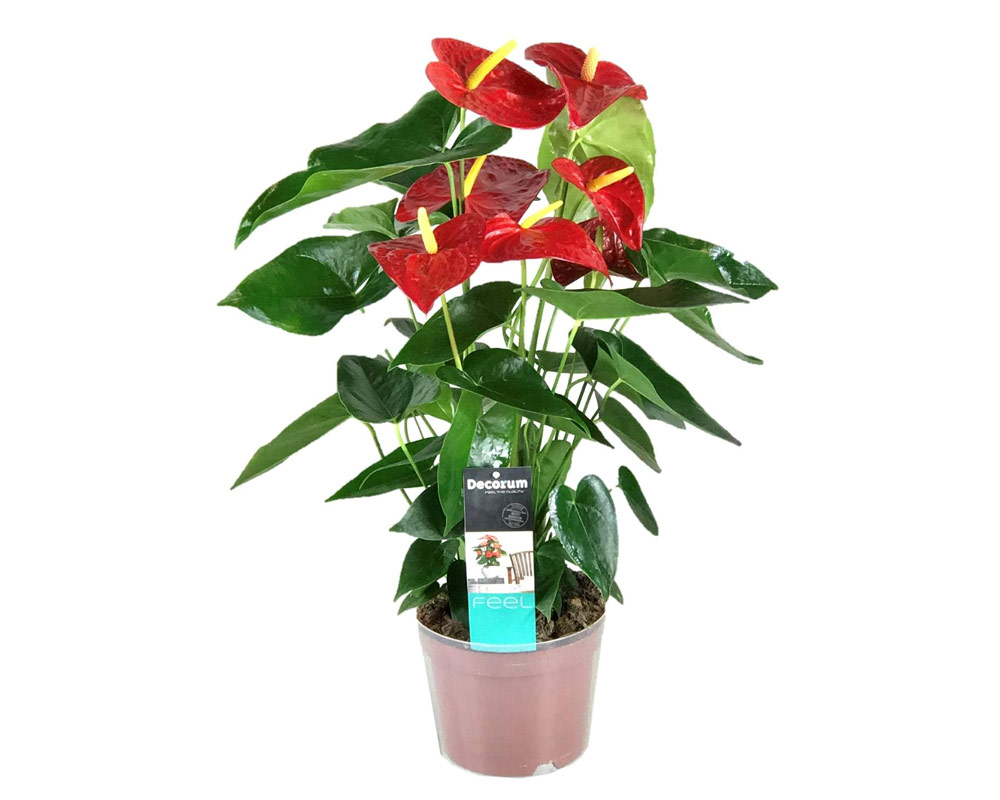 anthurium dakota vaso 17 piante da interno serra calda oz planten piante fiorite