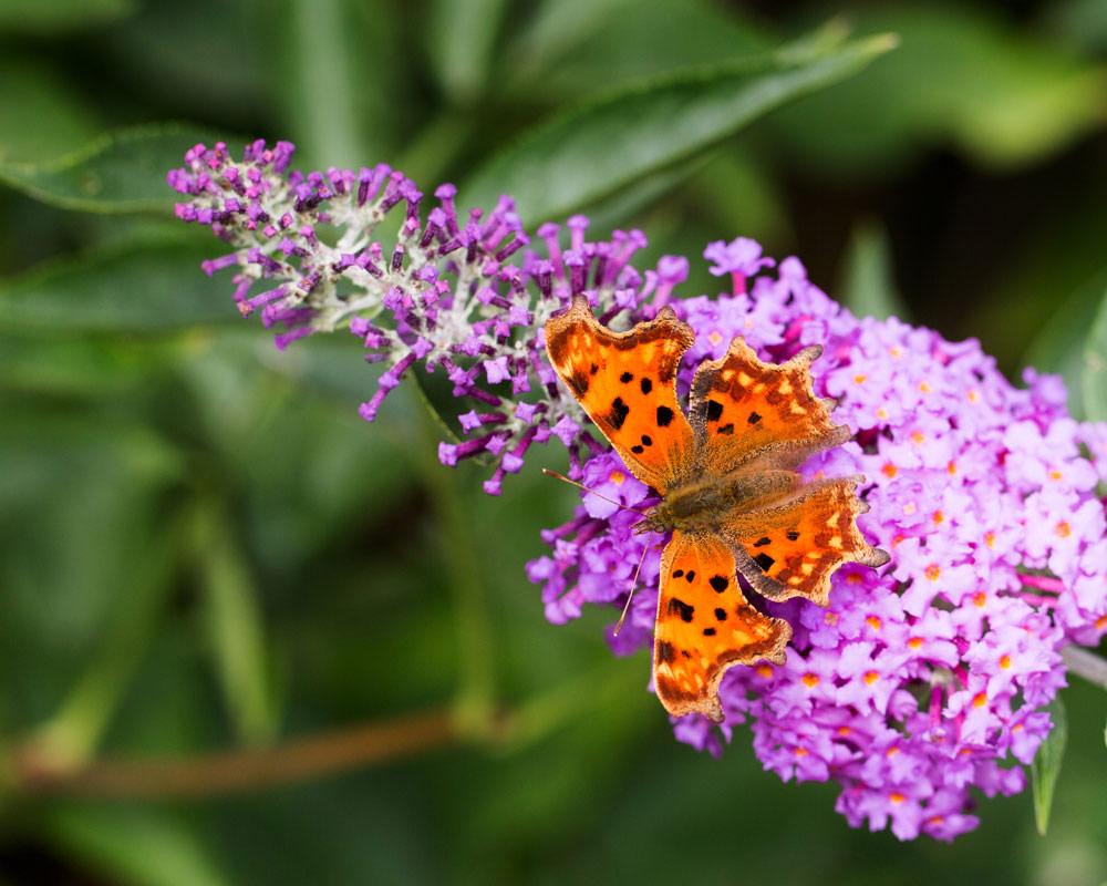 beddleja davidii colori misti piante da viavio fiorite piante e fiori giardino 1