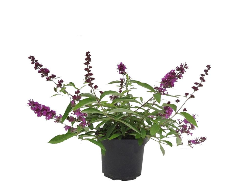beddleja davidii colori misti piante da viavio fiorite piante e fiori giardino 2