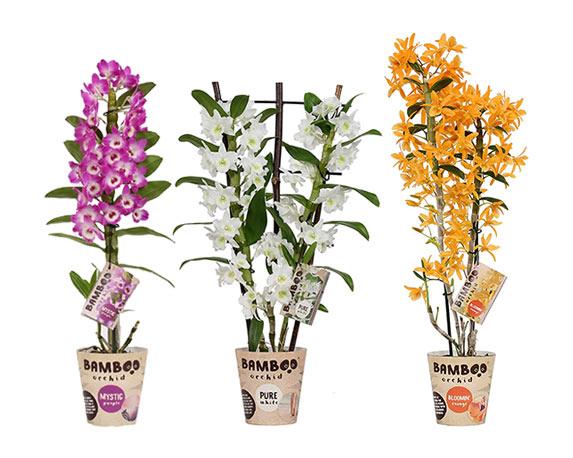 Orchidea Bamboo