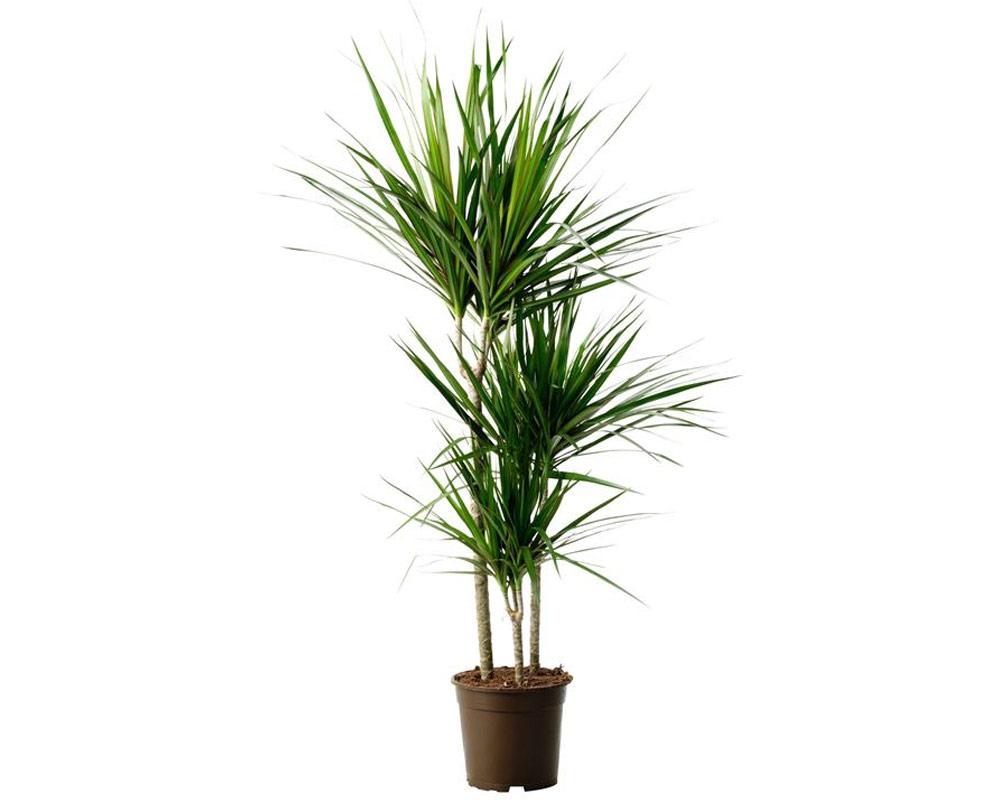 dracena indivisa vaso 24 piante da interno piante da esterno verdi dracene