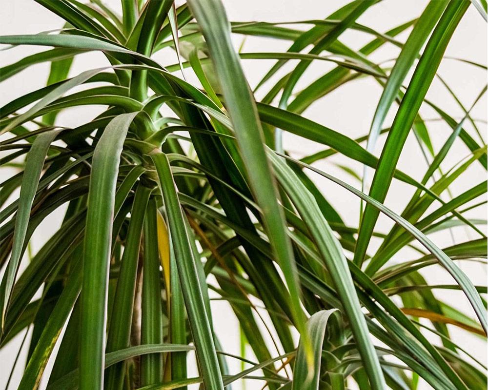dracena indivisa vaso 24 piante da interno piante da esterno verdi dracene.jpg2