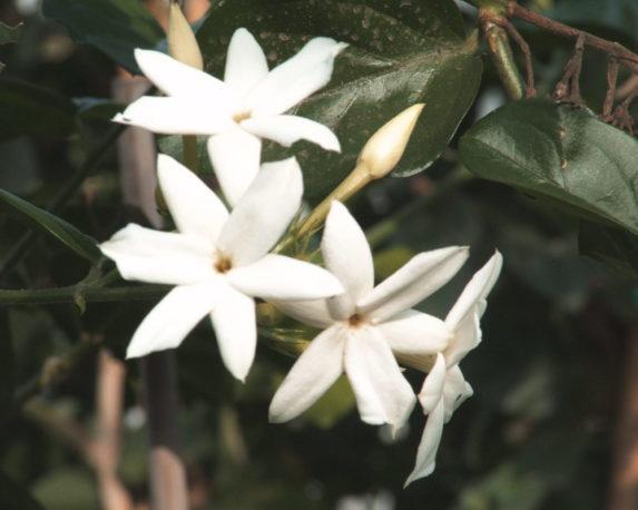 gelsomino rampicante fiorite esterno azoricum 1 1