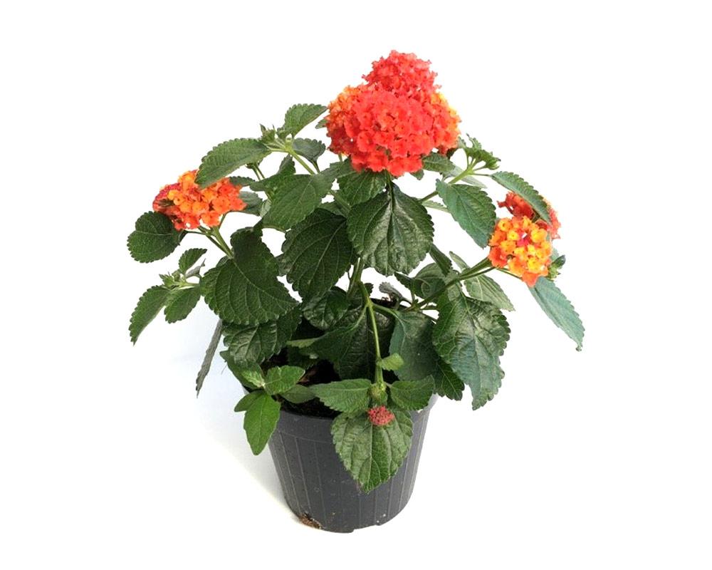 lantana camera bandana vaso 16 piante e fiori cespuglio fiorite vivaio piante esterno giardino