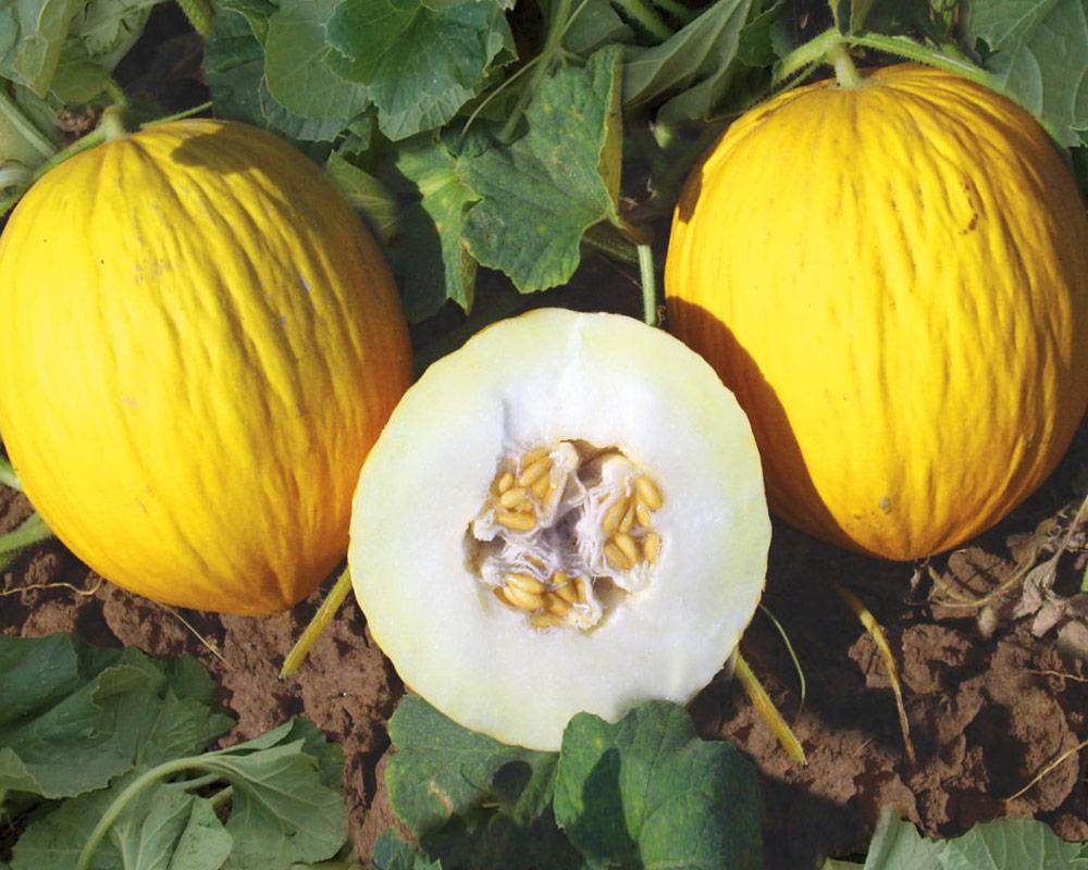 melone rugoso di cosenza giallo ortaggio sementi dotto orto biologico bulbi e sementi giardinaggioi 1