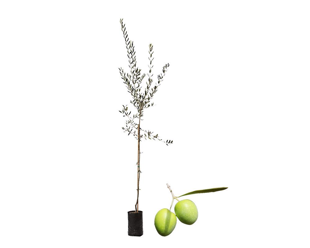 olivo biancolilla fitocella