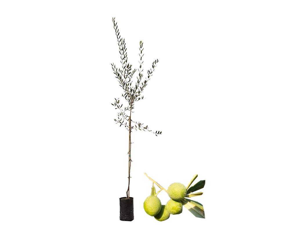 olivo cerasuola fitocella