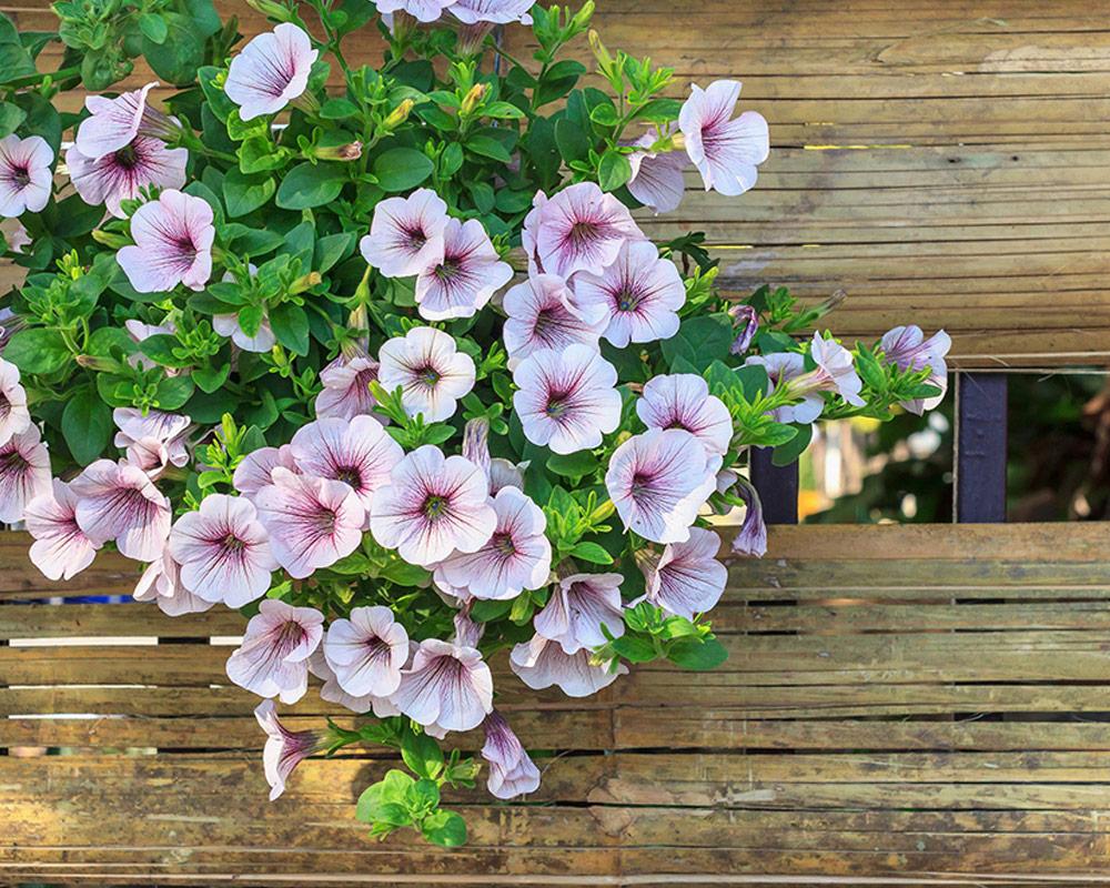 petuni superba grandiflora sementi dotto sementi da fiore bulbi e sementi giardinaggio fiori 1 1.jpg1  1 1