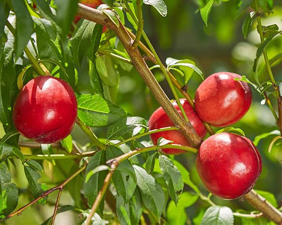 prunus persica nettarina dettaglio 014806 1
