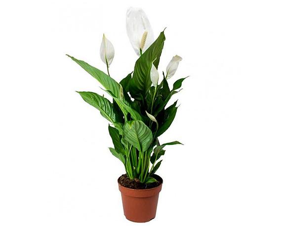 spathiphyllum v 24cm 1