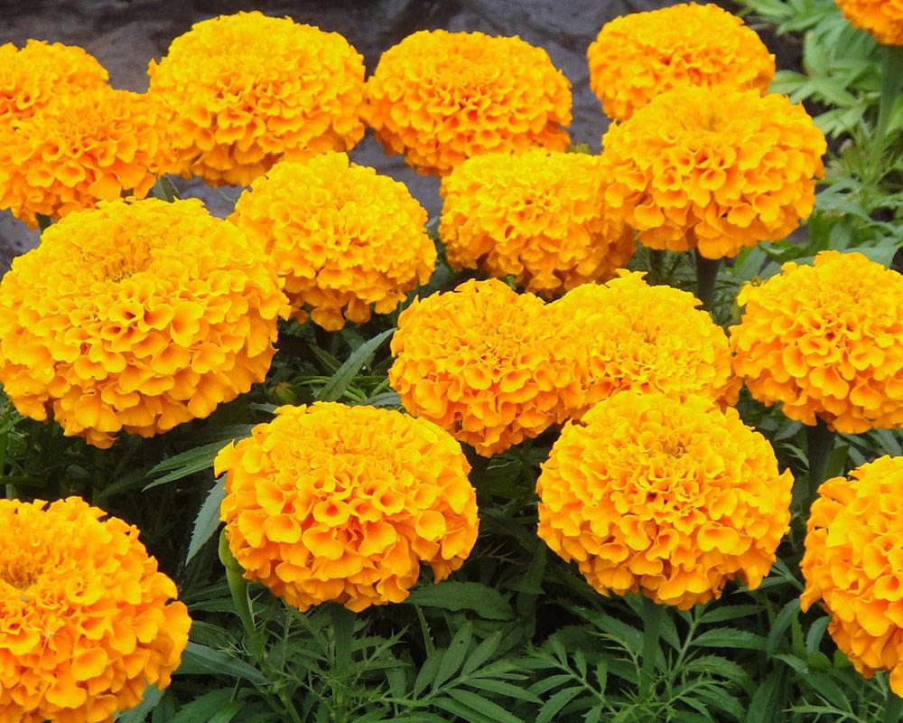 tagete alta gialla sementi dotto sementi da fiore bulbi e sementi giardinaggio fiori 2