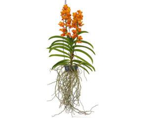 vanda orchidea piante da interno piante fiorite olanda oz planten pensili fiori a spiga piante e fiori 1