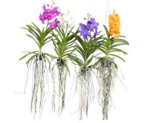 vanda orchidea piante da interno piante fiorite olanda oz planten pensili fiori a spiga piante e fiori 1.jpg1  1
