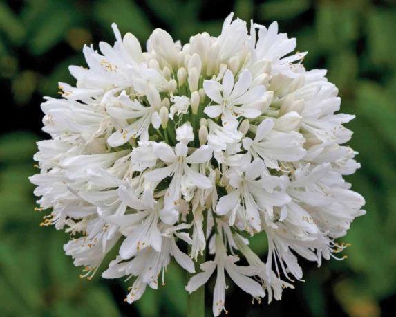 AGAPANTHUS Vaso 20 piante da esterno piante fiorite bianco