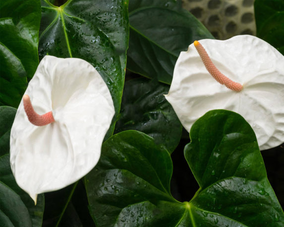 ANTHURIUM ANDREANUM BIANCO vaso 17 piante fiorite da interno dettaglio fiore