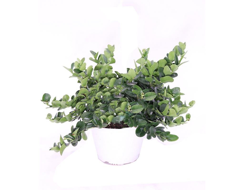 CARISSA GRANDIFLORA piante fiorite