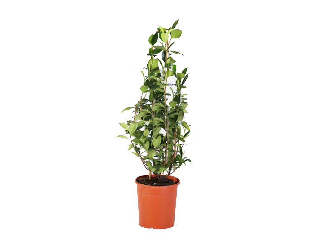 Cestrum nocturnum Gelsomino notturno piante da vivaio piante fiorite vaso