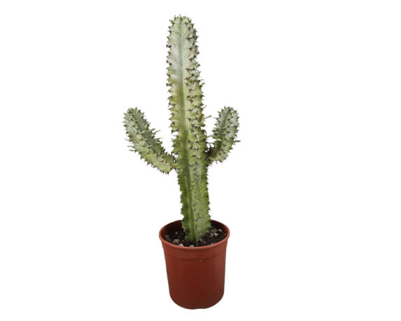 Euphorbia Grandialata