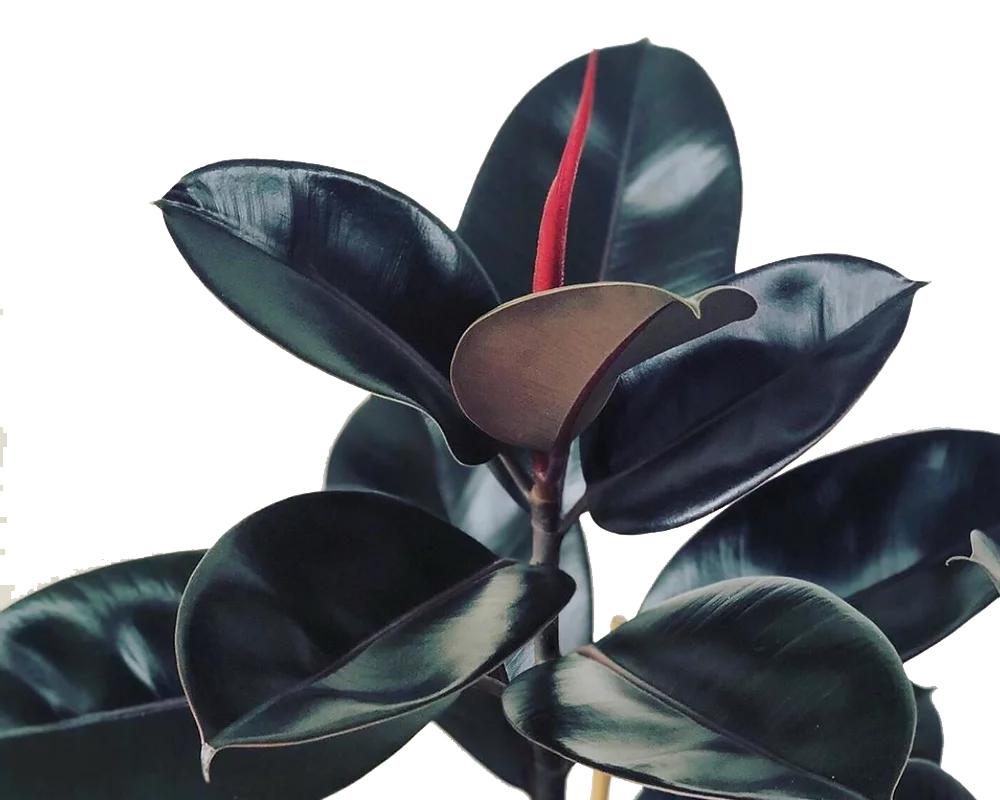 FICUS ABIDJAN vaso 19 piante verdi da interno