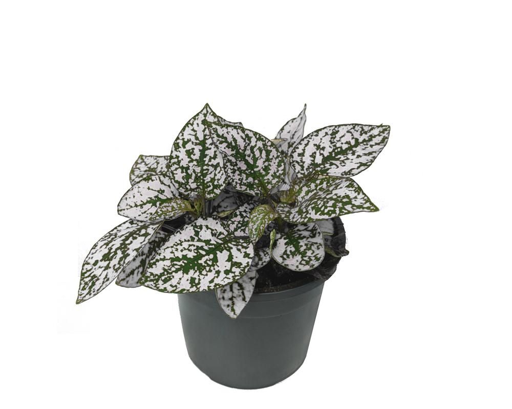 Hypoestes phyllostachia piante interno sempoe verdi oz planten vaso 9 2