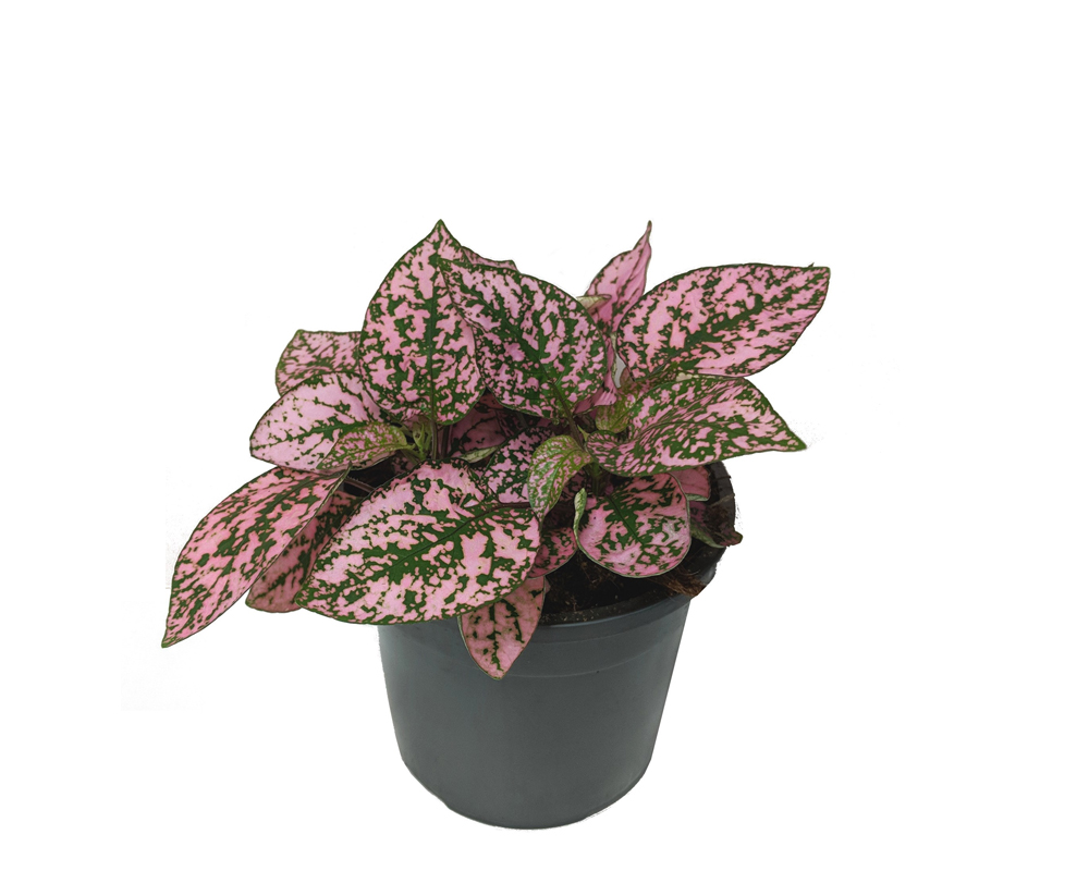Hypoestes phyllostachia piante interno sempoe verdi oz planten vaso 9