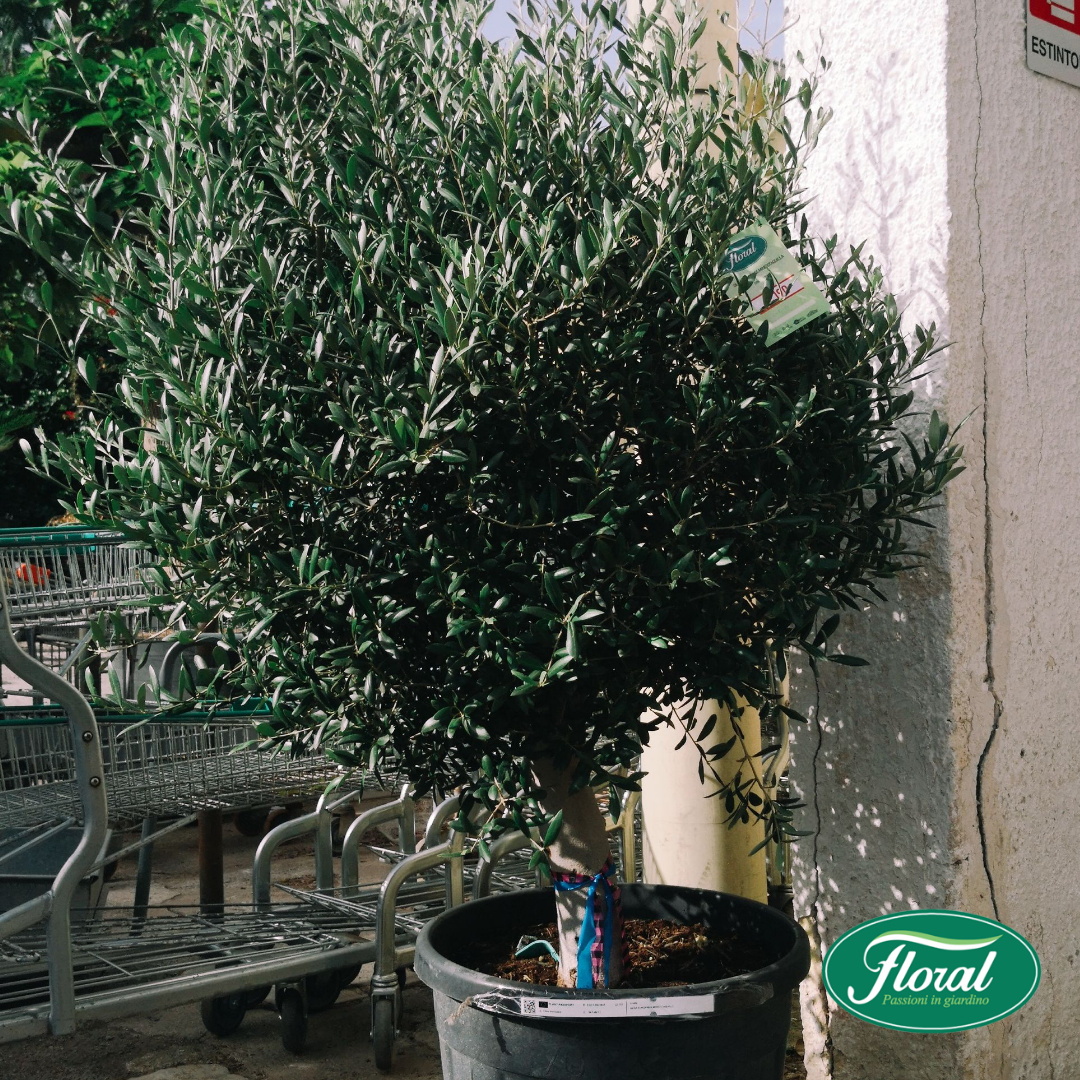 piante giganti