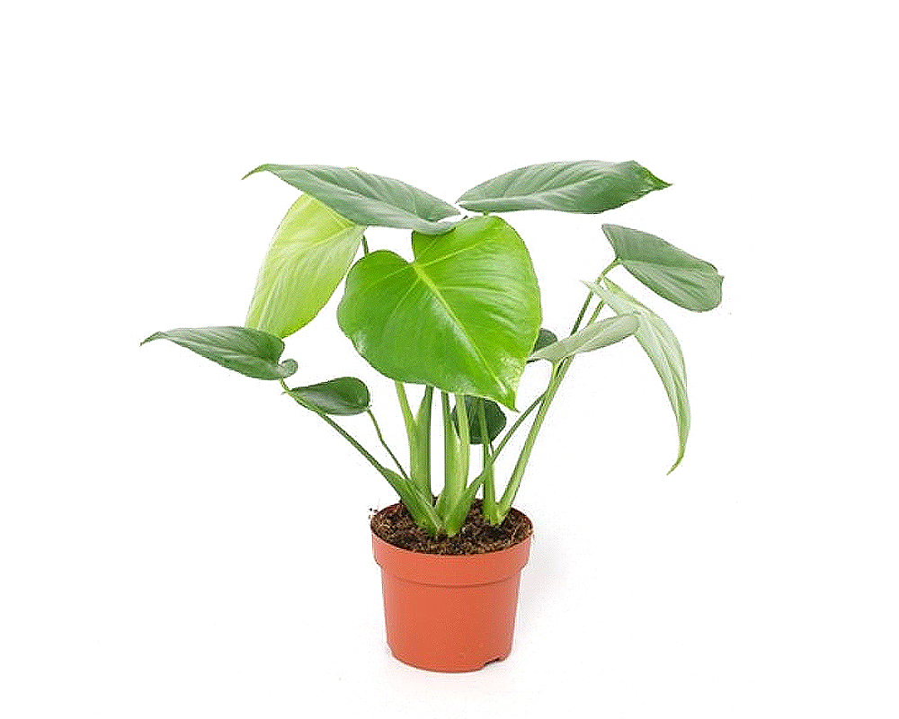 MONSTERA vaso 12 piante verdi da serra calda Oz Planten