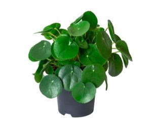 PILEA PEPEROMIOIDES vaso 16 piante da interno piante verdi succulente