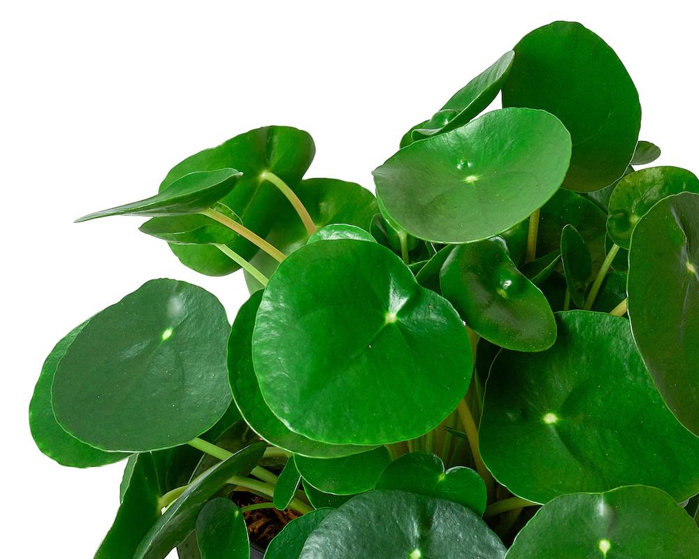 PILEA PEPEROMIOIDES vaso 16 piante da interno piante verdi succulente dettaglio