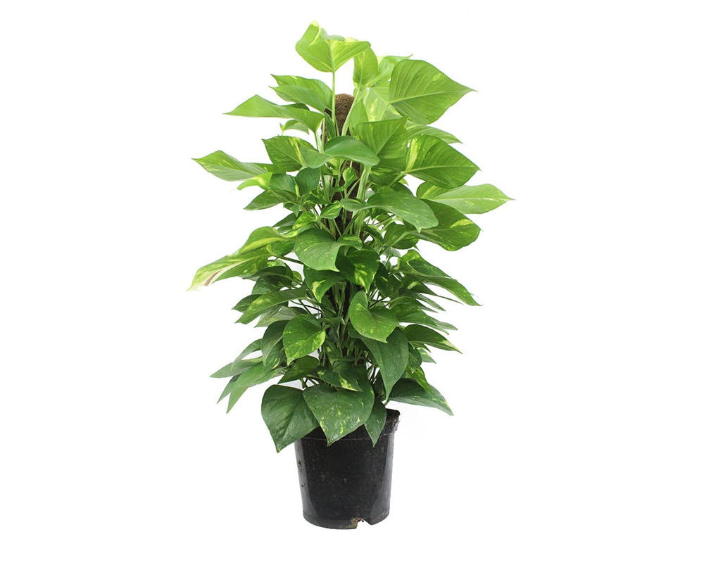 POTHOS tutore piante da interno piante da interno serra calda