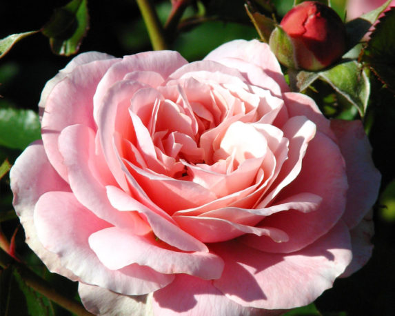 ROSA RAMPICANTE PHILLYS BLADE vaso 20 rosai piante firoite