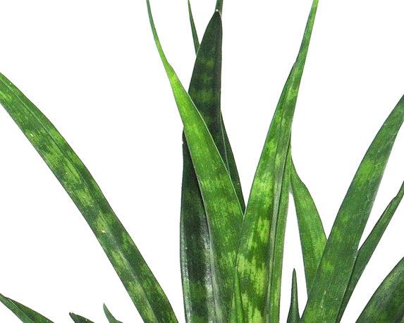SANSEVERIA KIRKII FRIENDS vaso 9 piante verdi da serra calda Oz Planten 2