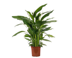SPATHIPHILLIUM BINGO CUPIDO vaso 19 piante da interno piante serra