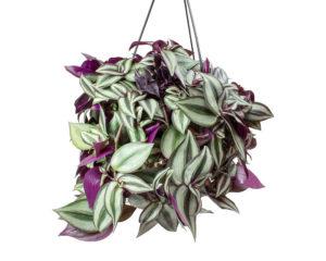 TRADESCANTIA ZEBRINA basket 16 piante da esterno