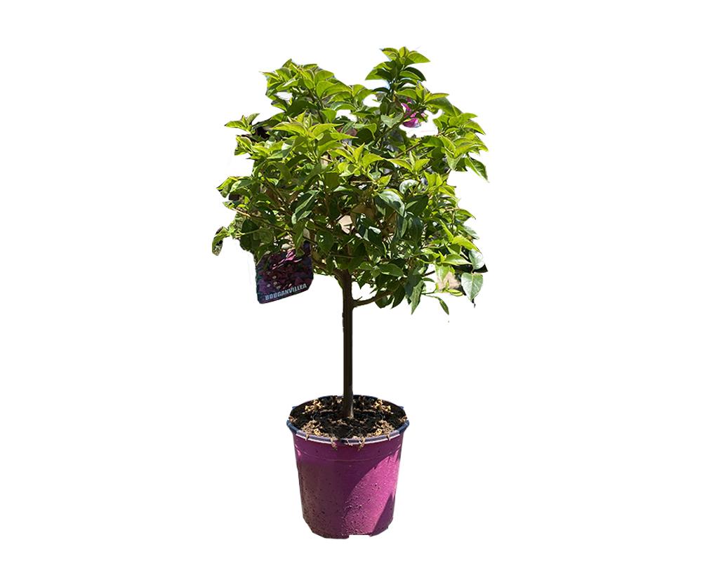 bouganvillea alba alberello vaso 17 rampicante