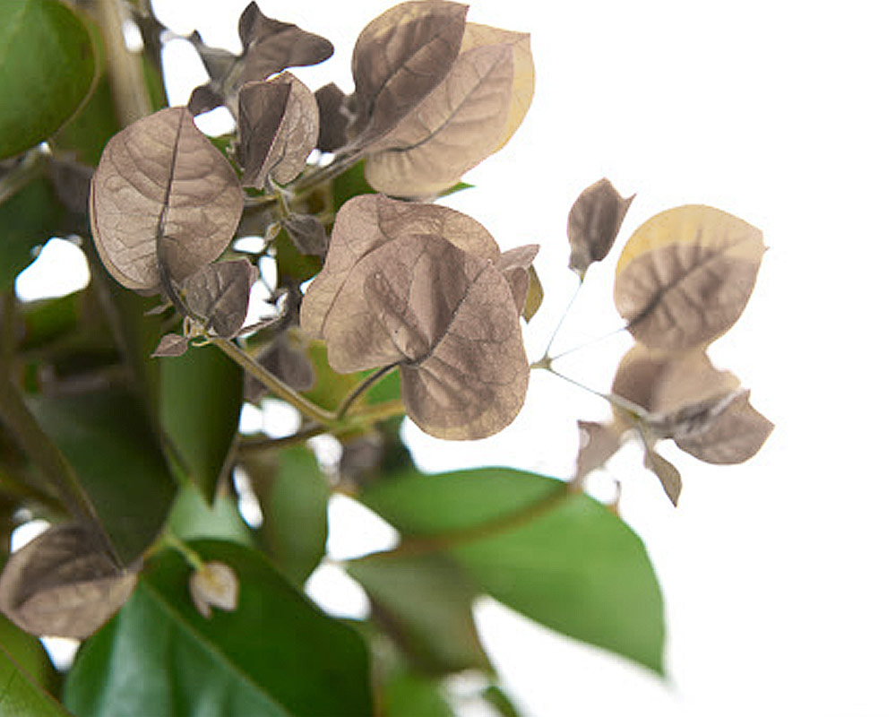 bouganvillea alba vaso 20 piante e fiori rampicanti anania.jpg3