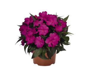 impatient vaso 14 piante fiorite