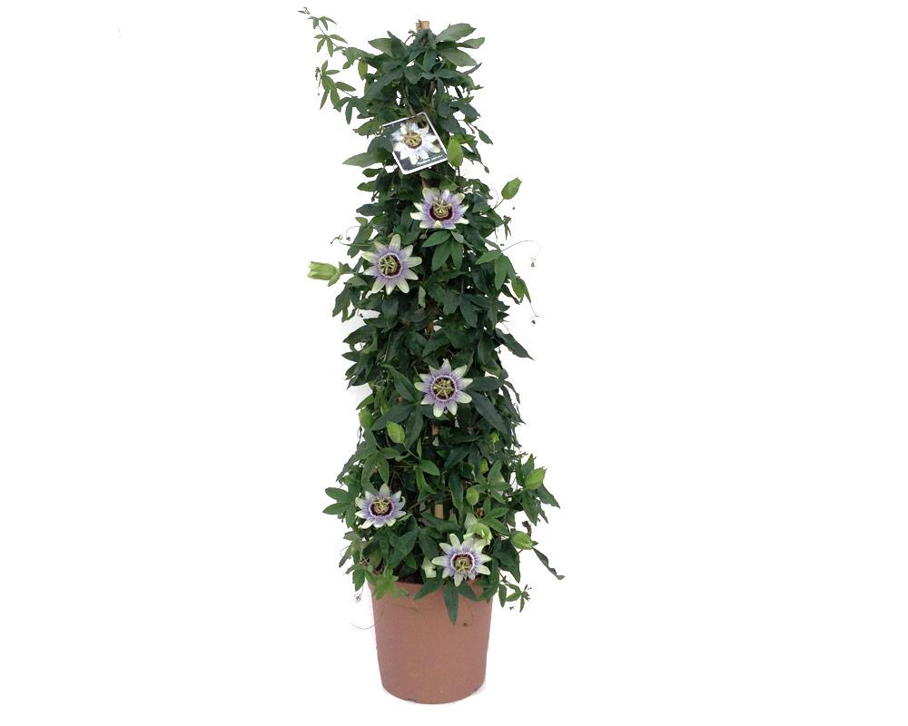 passiflora piramide vaso 19 piante e fiori rampicanti isgrojpg