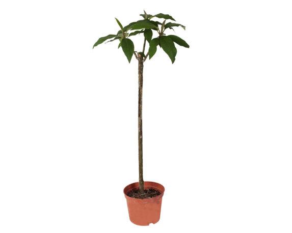 Plumeria Rara