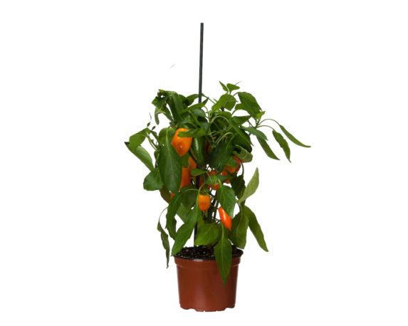 Peperoncino Caspicum Annuum