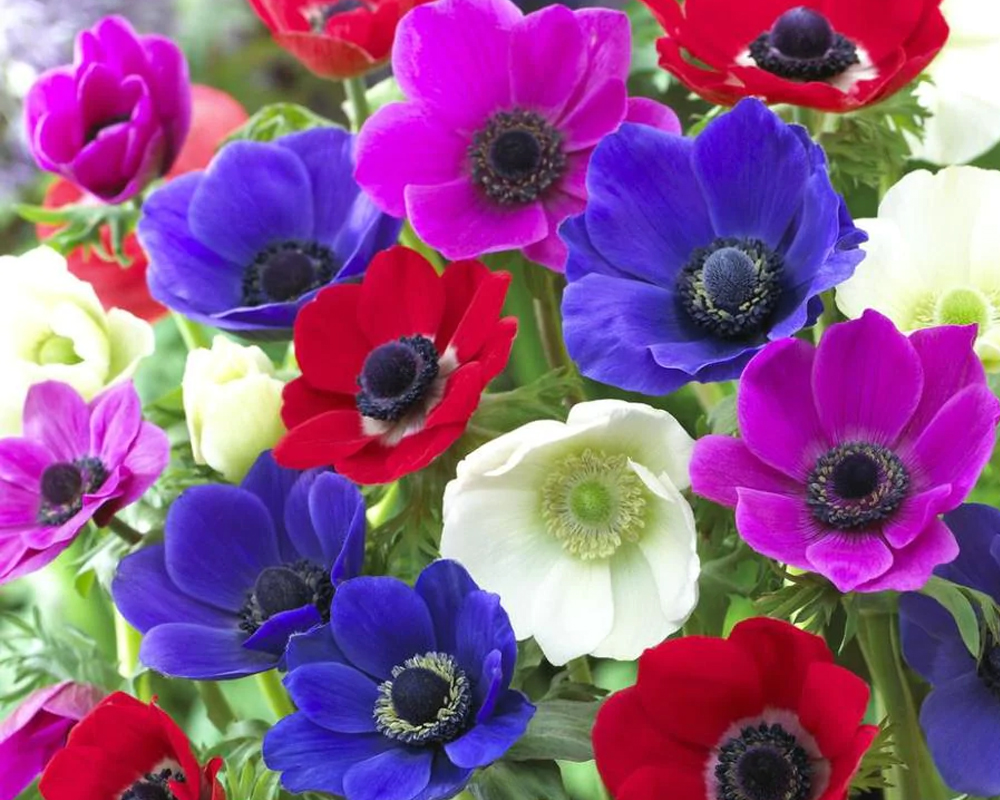 ANEMONE DE CAEN  sementi dotto fiori