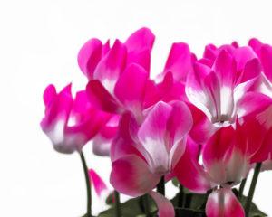 ciclamino piante fiorite piante da vivaio vaso 14 2